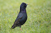 Common Starling (Sturnus vulgaris) on lawn, West Sussex, UK. May