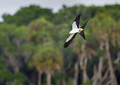Swallow-tailed Kite (Elanoides forficatus) Myakka river state park, Florida, USA