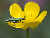 Thick-legged Flower Beetle (Oedemera nobilis) on buttercup, West Sussex, UK. June