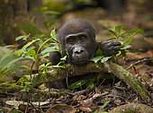 Western lowland Gorilla (Gorilla gorilla gorilla) young male, part of the Atanga group, Loango National Park, Gabon, central Africa. Critically endangered.