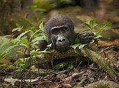 Gorille de plaine de l'ouest (Gorilla gorilla gorilla) jeune mâle du groupe Atananga, Parc national de Loango, Gabon