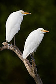 Cattle Egret (Bubulcus ibis), two adults perched on a dead branch, Campania, Italy