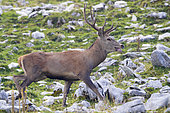 Red Deer (Cervus elaphus), front view of an adult male walking on a rocky terrain, Abruzzo, Italy