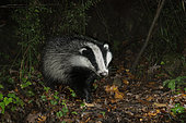 European Badger (Meles meles), adult walking in a forest, Campania, Italy