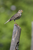 Corn Bunting (Emberiza calandra), side view of an adult singing from a post, Campania, Italy