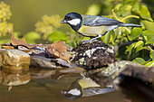 Great Tit (Parus major aphrodite), side view of an adult standing on the edge of a pool, Campania, Italy