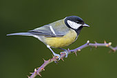 Great Tit (Parus major aphrodite), side view of an adult perched on branch, Campania, Italy