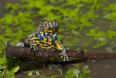 Yellow-bellied Toad (Bombina variegata), Vosges du Nord Regional Nature Park, France