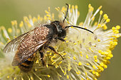 Solitary bee parasitic mite (Chaetodactylus osmiae), Vosges du Nord Regional Nature Park, France