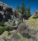 Alpine Asters (Aster alpinus), Mercantour National Park, Alps, France