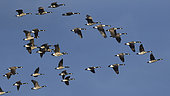 Canada Geese (Branta canadensis) in flight, Sauer Delta Nature Reserve, Rhine bank, Munchhausen, Alsace, France