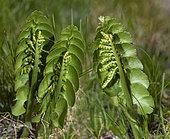 Moonwort (Botrychium lunaria), Mercantour National Park, Alps, France