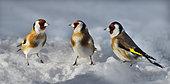 Goldfinches (Carduelis carduelis) on snow, Parc naturel régional des Vosges du Nord, France