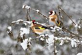 Goldfinches (Carduelis carduelis) on snowy thistles, Parc naturel régional des Vosges du Nord, France
