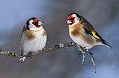 Goldfinches (Carduelis carduelis) on branch, Parc naturel régional des Vosges du Nord, France