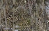 Chat forestier (Felis silvestris) mâle à l'affût, Parc naturel régional des Vosges du Nord, France