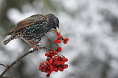 Starlings (Sturnus vulgaris) eating European mountain ash (Sorbus aucuparia) berries on a branche, Parc naturel régional des Vosges du Nord, France
