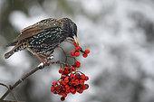 Etourneau sansonnet (Sturnus vulgaris) mageant des baies de sorbier (Sorbus aucuparia), Parc naturel régional des Vosges du Nord, France