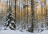 Snow-covered larch and spruce forest, Vosges du Nord Regional Nature Park, France