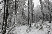 Forêt de mélèzes enneigée, Parc naturel régional des Vosges du Nord, France