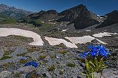 Gentianes printanières (Gentiana verna) au Pas de la Cavale, 2671 mètres, Parc national du Mercantour, Alpes, France