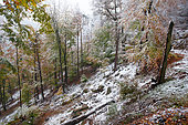 Beech (Fagus sylvatica) snowstorm in autumn, Vosges du Nord Regional Nature Park, France