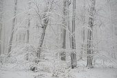 "Beech wood (Fagus sylvatica) snowed in the fog after the passage of the storm ""Bella"", Vosges du Nord Regional Nature Park, France"