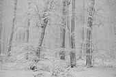 """Hêtraie (Fagus sylvatica) enneigée dans le brouillard après le passage de la tempête """"Bella"""", Parc naturel régional des Vosges du Nord, France"""