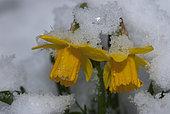 Daffodil (Narcissus pseudonarcissus) in the snow, Parc naturel régional des Vosges du Nord, France