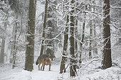 European wolf (Canis lupus) in the forest in winter, Parc naturel régional des Vosges du Nord, France