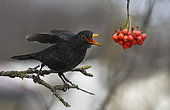 Black bird (Turdus merula) eating European mountain ash (Sorbus aucuparia) berries on a branche, Parc naturel régional des Vosges du Nord, France