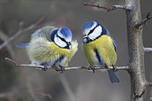 Blue tits (Parus caeruleus) couple on a branch, Vosges du Nord Regional Nature Park, France