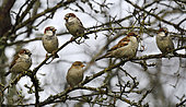 House sparrows (Passer domesticus) in a hedge, Vosges du Nord Regional Nature Park, France