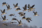 Taiga bean geese (Anser fabalis) in flight, Sauer Delta Nature Reserve, Rhine bank, Munchhausen, Alsace, France