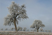 Frosted pear trees and plum trres frosted, Vosges du Nord Regional Nature Park, France