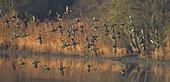 Common Teal (Anas crecca) in flight, Sauer Delta Nature Reserve, Rhine bank, Munchhausen, Alsace, France