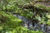 Spring and small forest stream among sphagnum mosses and ferns, Vosges du Nord Regional Nature Park, France
