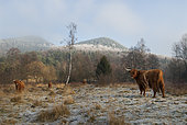 Cows (Highland-cattle) in winter, Parc naturel régional des Vosges du Nord, France