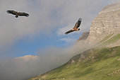 Griffon vultures (Gyps fulvus) in flight, Col du Crachet, Alpes de Hautes-Provence, France