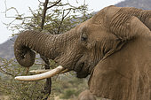 African elephant (Loxodonta africana) eating, Kalama conservancy, Samburu, Kenya.