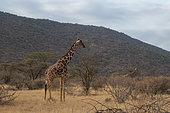 Reticulated giraffe (Giraffa camelopardalis reticulata), Kalama conservancy, Samburu, Kenya.