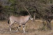 Beisa oryx (Oryx gazella beisa), Kalama Conservancy, Samburu, Kenya.
