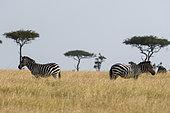 Grant's zebra (Equus burchellii boehmi), Masai Mara National Reserve, Kenya.