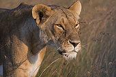 Lioness (Panthera leo), Masai Mara, Kenya.