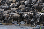 Eastern white-bearded wildebeest (Connochaetes taurinus albojubatus) on the Mara river bank, Masai Mara National Reserve, Kenya.