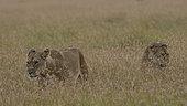 Lion, Panthera leo, Masai Mara, Kenya.