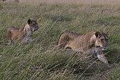 Lion, Panthera leo, walking, Masai Mara, Kenya.