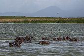 Hippopotamuses (Hippopotamus amphibius), Lake Jipe, Tsavo, Kenya.