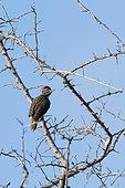 Nubian woodpecker (Campethera nubica), perching on acacia tree, Tsavo, Kenya.