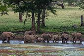 African elephants (Loxodonta africana), Tsavo, Kenya.